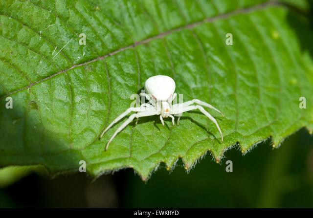 An Albino Goldenrod Crab Spider, Misumena Vatia Thomisidae, standing on a Monarda Balm Aromatic leaf - Stock Image