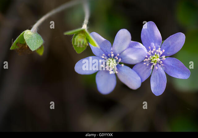 Blue anemone  with buds in the forest. - Stock Image