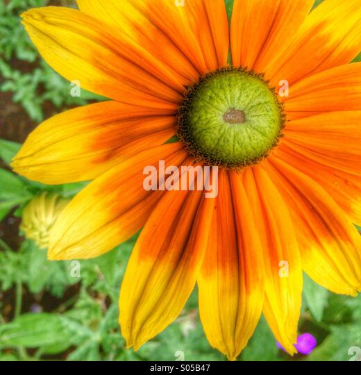 Bright colourful cheerful daisy - Stock Image