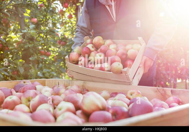 Male farmer emptying fresh harvested red apples into bin in sunny orchard - Stock-Bilder