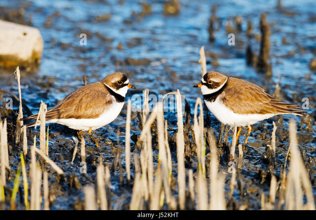 Semipalmated Plovers - Stock Image