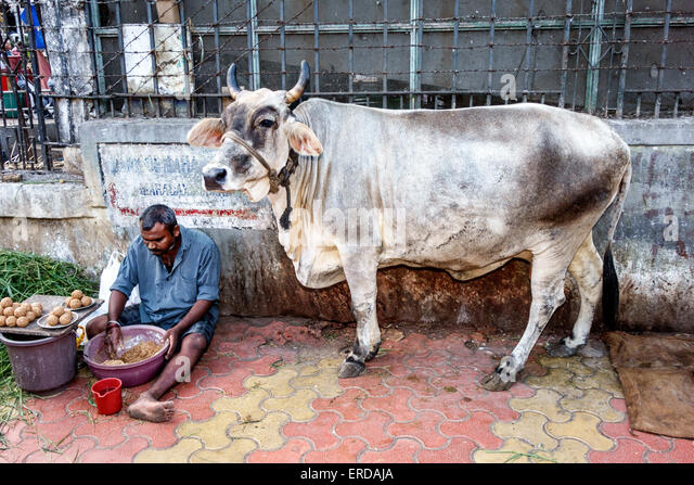 India Asian Mumbai Breach Candy Cumballa Hill cow steer man - Stock Image
