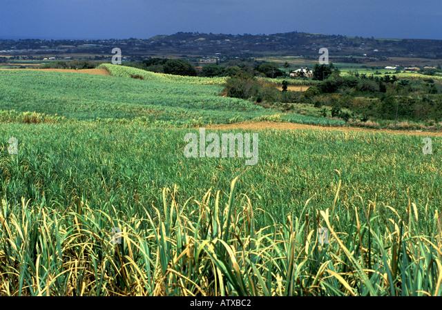 Barbados West Indies Sugar Cane Field - Stock Image