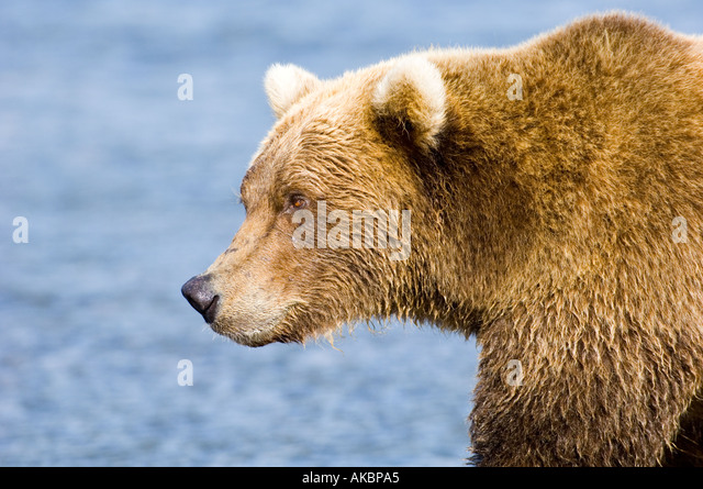 Brown Grizzly Bear Ursor arctos Katmai Alaska August - Stock Image