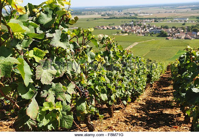 Vineyard Romanee-Contie - Stock Image