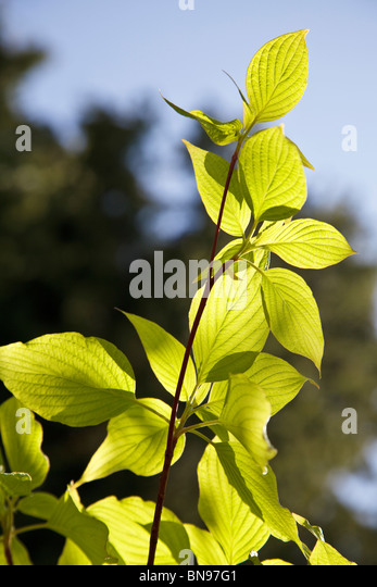 Bright green new leaf growth in Spring against an out of focus background - Stock Image