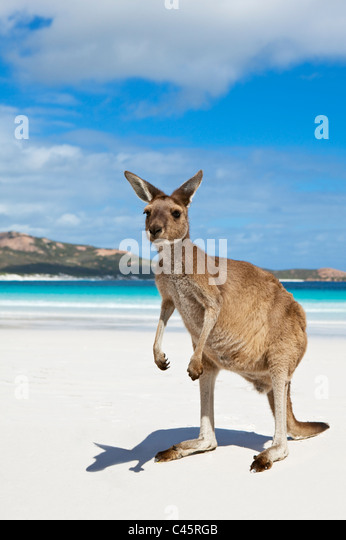 Kangaroo on the beach at Lucky Bay. Cape Le Grand National Park, Esperance, Western Australia, Australia - Stock Image