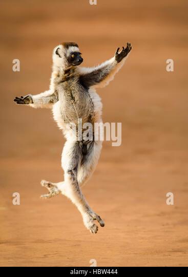 Verreaux's Dancing Sifaka (Propithecus verreauxi) dancing - Stock Image
