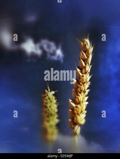Head if wheat - Stock Image