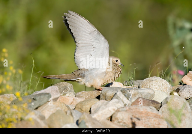 Mourning Dove raises wings to threaten another bird. - Stock Image