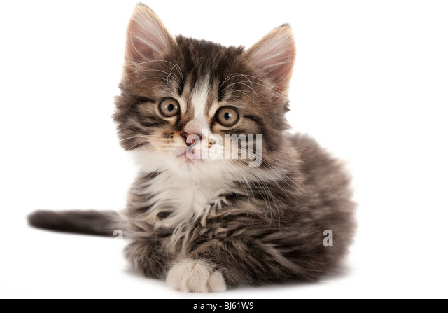 Grey striped kitten plays on a white background - Stock Image