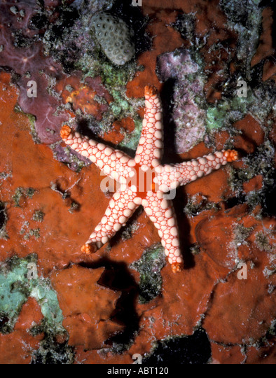 Seychelles Starfish on sponge - Stock Image