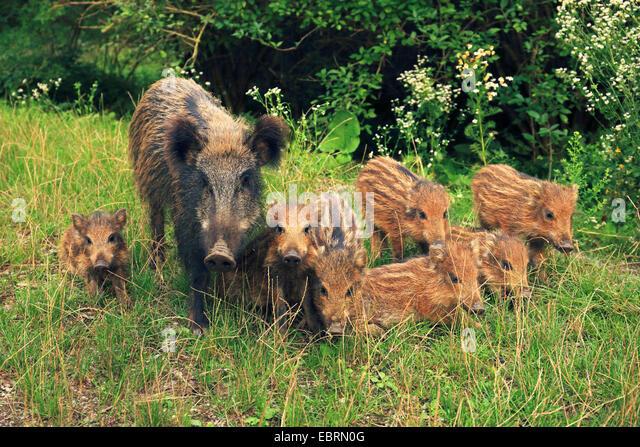 wild boar, pig, wild boar (Sus scrofa), females with runts , Germany, Baden-Wuerttemberg - Stock Image