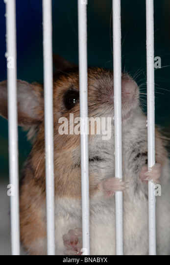 Wood mouse clutching the bars of its cage. - Stock Image