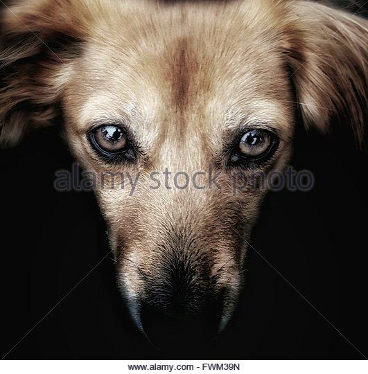 Close-Up Portrait Of Dog Against Black Background - Stock-Bilder