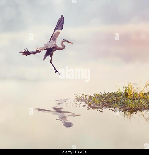 Great Blue Heron In Flight in Florida Wetlands - Stock-Bilder