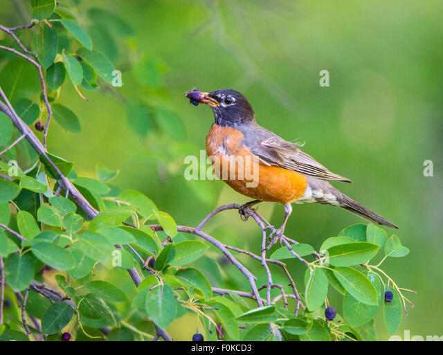 Birds, American Robin eating Service Berry's on service berry tree. Idaho, USA - Stock Image