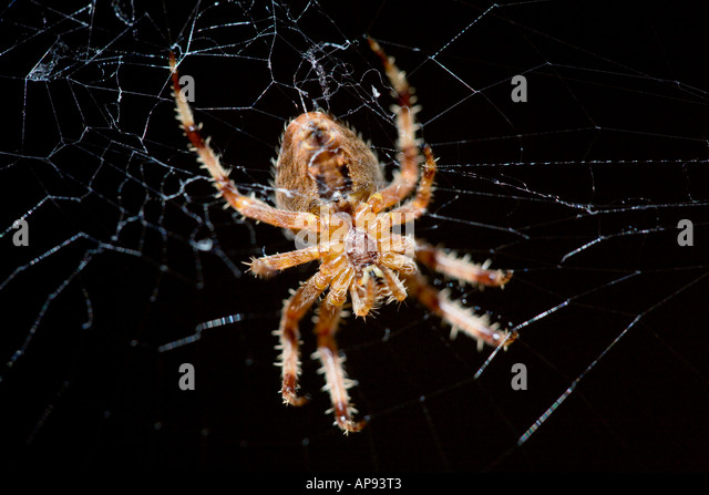 THE UNDERSIDE OF A EUROPEAN GARDEN SPIDER WAITING FOR PREY - Stock Image