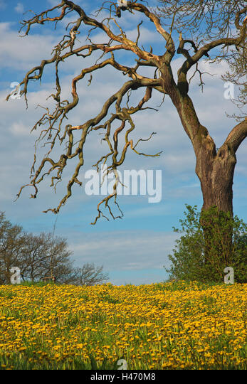 Old oak, dead, flower meadow, - Stock Image