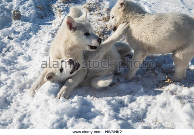 Greenland Sled Dogs Playing - Stock Image