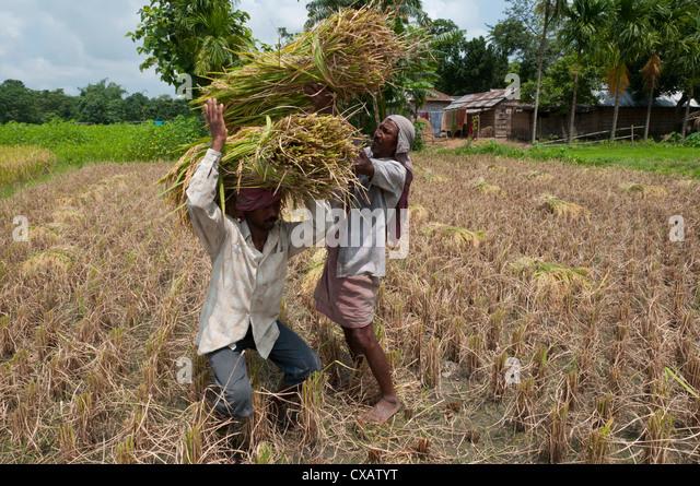 Farmers harvesting ripe rice, Koch Bihar, West Bengal, India, Asia - Stock Image