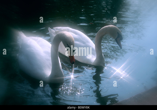 swan couple - Stock Image