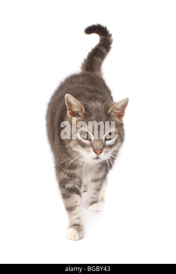 A studio photograph of an old male cat. - Stock Image