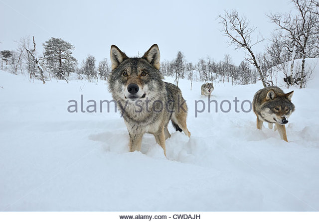 Three wolves coming close in Polar Zoo, photographed with a wide angle lens - Stock Image