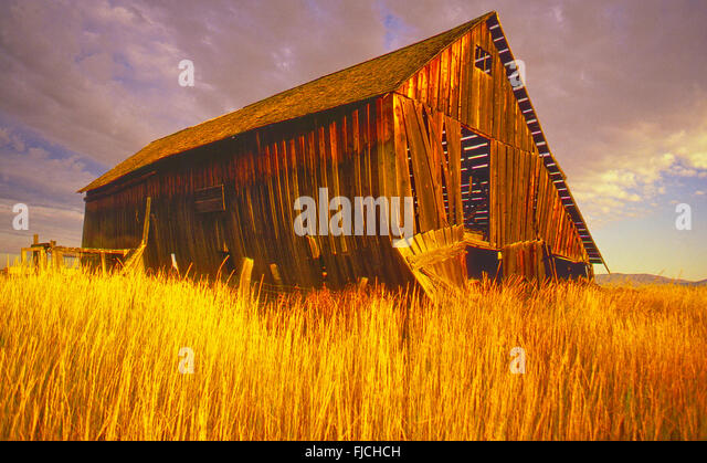 Old Rustic Wooden Barn in field of Golden Wheat, Camas Prairie near Fairfiled, Idaho, USA - Stock Image
