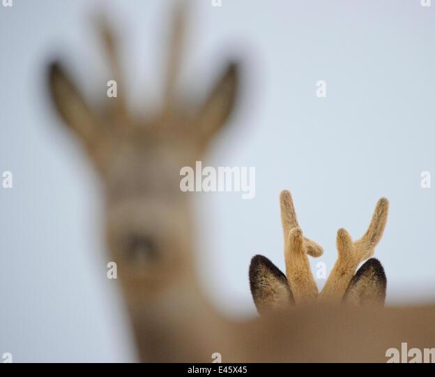 Roe Deer (Capreolus capreolus) males with developing antlers in velvet, one in focus, one not. Virumaa, Estonia, - Stock Image