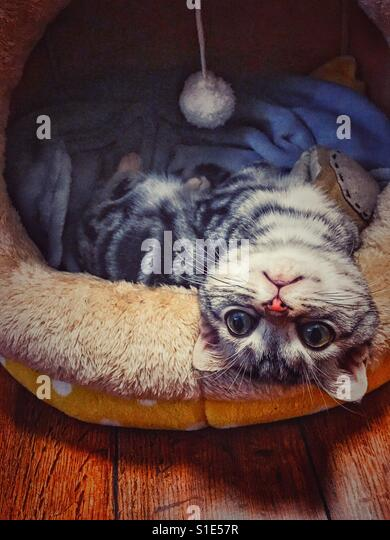 A cute little cat A cute little cat with blue eyes, lying in its cushion, and head standing - Stock-Bilder