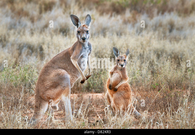Red Kangaroo with Joey. - Stock Image