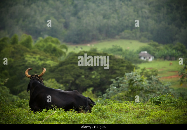 Bull lying in a field near Vinales, Cuba - Stock Image