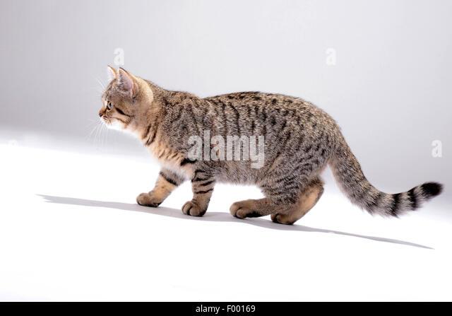 British Shorthair (Felis silvestris f. catus), little striped kitten, side view - Stock Image