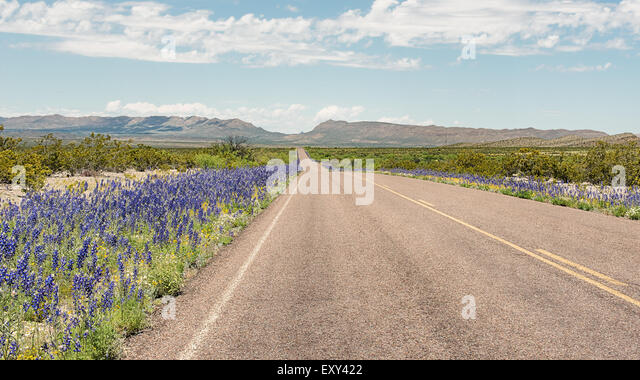 Bluebells along the roadside, Panther Junction-Persimmon Gap area, Big Bend National Park, Texas. - Stock-Bilder