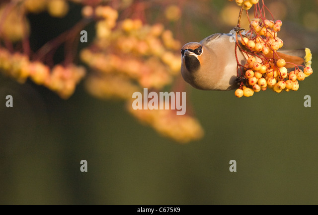 Waxwing Bombycilla garrulus An adult perched in a distinctive, yellow variety of rowanNottinghamshire, UK - Stock-Bilder