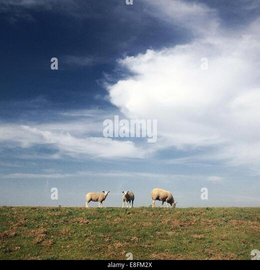Three sheep grazing on pasture - Stock Image