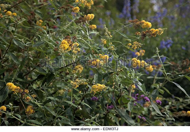 Bicolor Butterfly Bush