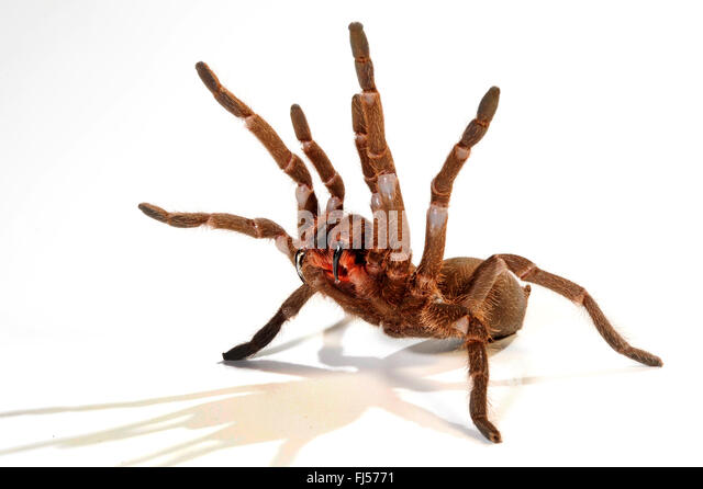tarantula (Hysterocrates spec.), in defence posture with extended cheliceras, cut-out, Cameroon - Stock-Bilder