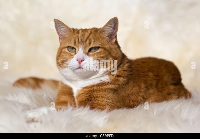 Bavaria,  Germany, Close up of European Shorthair cat lying on fur - Stock Image