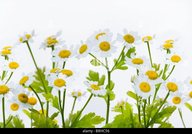 Close up shot of flowering Feverfew Latin Name: Chrysanthemum parthenium - Stock Image