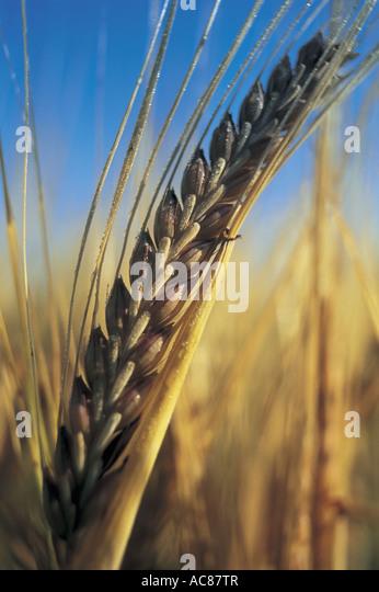 Barley - Stock Image
