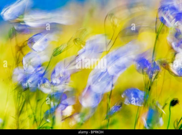 Harebell (Campanula rotundifolia) in wind, Lofoten islands, Norway AUGUST - Stock Image