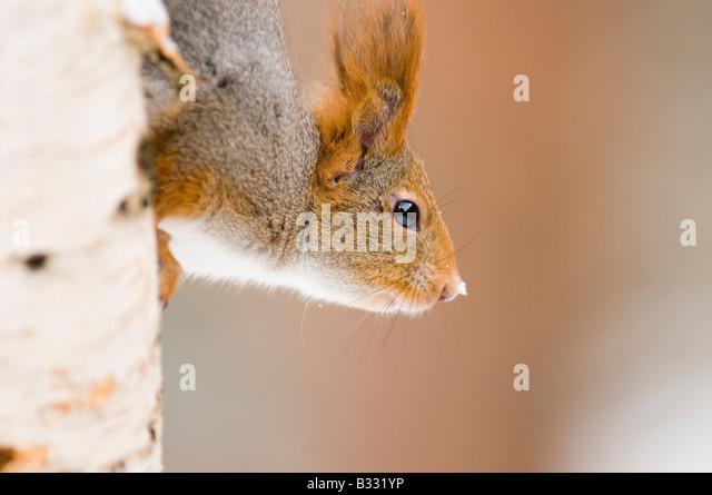 Red Squirrel Sciurus vulgaris Finland winter - Stock-Bilder