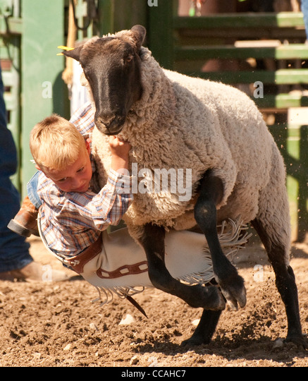 Rodeo,Young cowboy riding sheep during Mutton Busting contest, Idaho - Stock Image