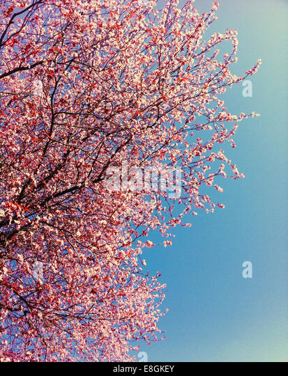 Canada, British Columbia, Vancouver, Pink cherry blossoms and clear blue sky - Stock Image