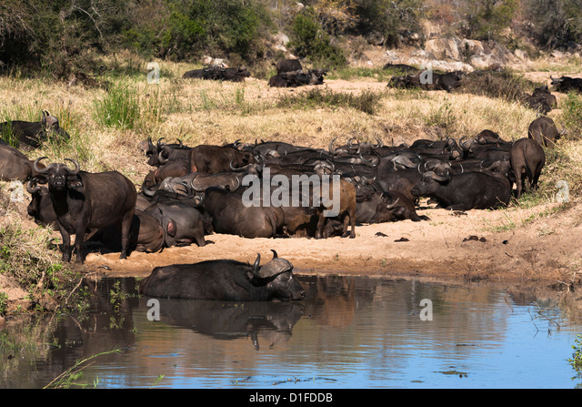 Cape buffalo (Syncerus caffer) herd resting at water, Kruger National Park, South Africa, Africa - Stock Image