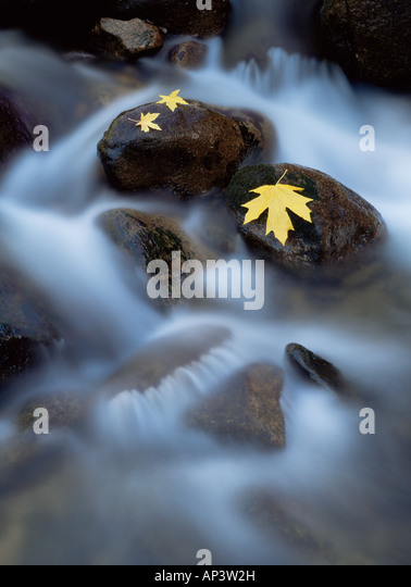 Bigleaf maple leaves on rocks in the merced river - Stock Image