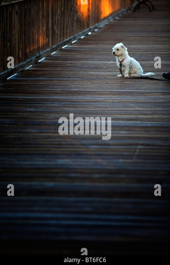 White dog on dock - Stock Image