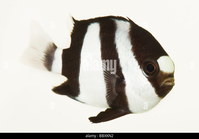 3 Stripe Damsel Dascyllus aruanus Tropical marine reef fish  Indo West Pacific from eastern Africa and the Red Sea - Stock-Bilder